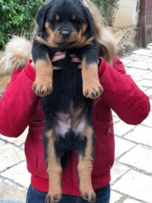 Cucciolo rottweiler