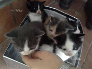Gattini mamma siamese