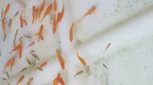 Quasi regalo pesci rossi per esubero posot class for Pesci rossi prezzo
