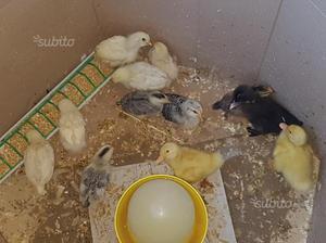 Pulcini di oca anatra e galline