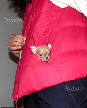 Purissimi chihuahua messicani mini mini toy