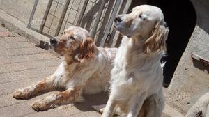 Setter inglesi - 2 fratelli in adozione