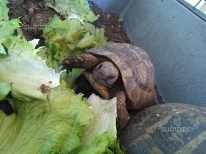 Tartaruga maschio terra