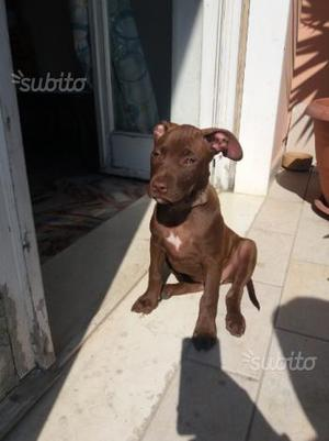 American Pitbull Terrier Red Nose Mat's Red Asia
