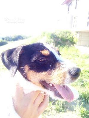 Cucciola di Jack Russell Terrier con pedigree