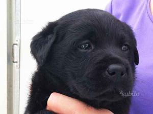 Cucciola di Labrador nero con Pedigree