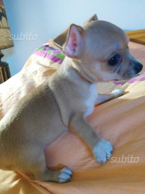 Cucciola di chihuahua taglia micro