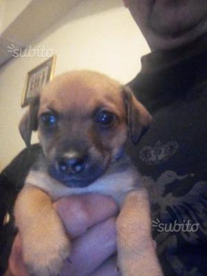 Cuccioli di Jack Russell terrier a zampa corta