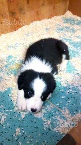 Cucciolo di border collie