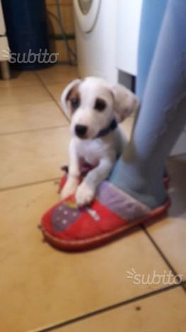 Cucciolo di tre mesi di Jack Russell terrier