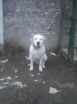 Dogo argentino maschio di 3 ani