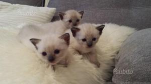 Gattini siamese thai