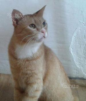 Gattino bianco e rosso Bimbo