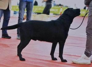 Labrador maschio