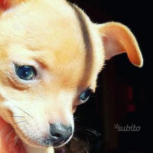 Ultimo cucciolo di chihuahua maschio