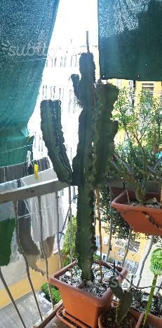 Cactus Euphorbia Eritrea (2 piante)