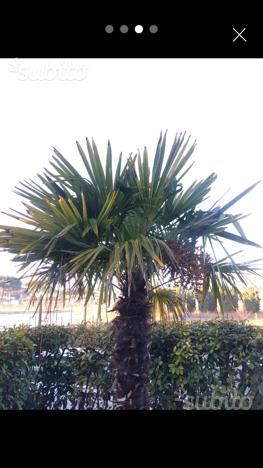 Albero di palma