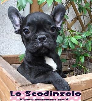 Bulldog -Bouledogue francese neri tigrati cuccioli
