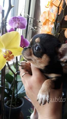 Chihuahua femmina