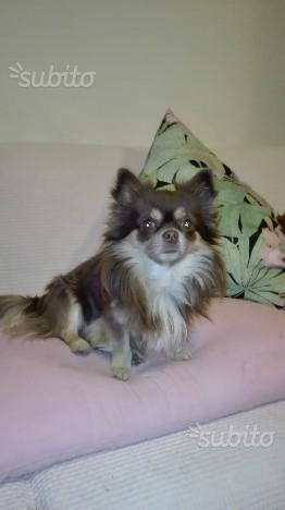 Chihuahua maschio pelo lungo