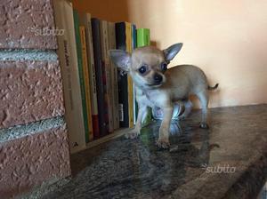 Chihuahua toy a pelo raso