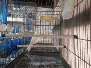 Coppia canarini gialli con gabbia
