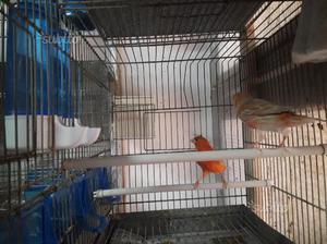 Coppia canarini isabella rossi con gabbia