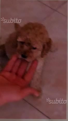 Cucciola di barboncina mini mini toy albicocca