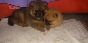 Cuccioli volpino spitz