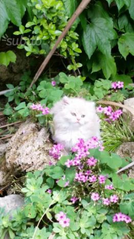 Cucciolo di gatti persiani