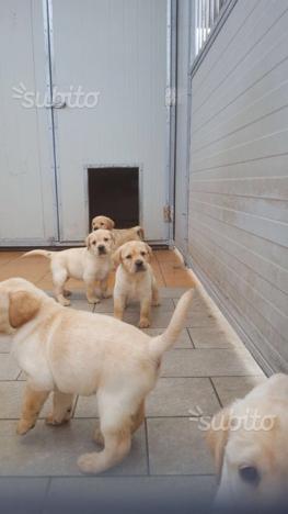 Disponibili cuccioli di labrador appena nati