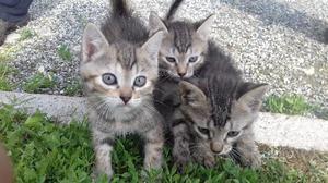 Gatti: gattini norvegesi a pelo lungo