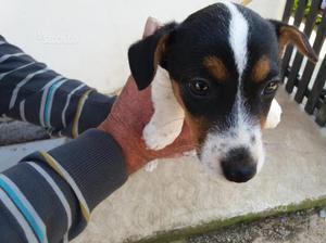 Jack russel ultimo cucciolo maschio