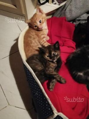 Regalo gattini di due mesi e mezzo