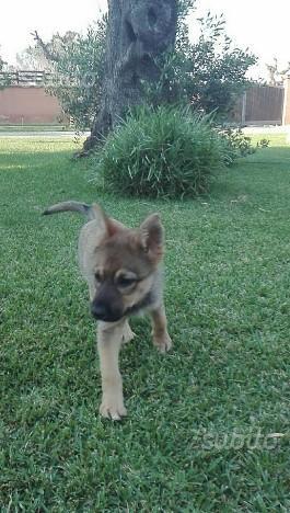 Simil pastore/lupo cecoslovacco cucciola