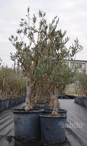 Alberi di ulivo produttivi 7 anni altezza cm