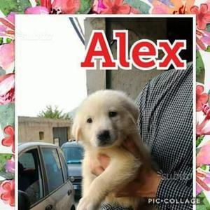 Alex cucciolo maschio 2 mesi e mezzo