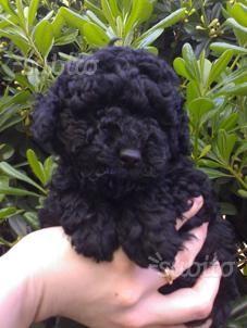 Barboncino toy nero
