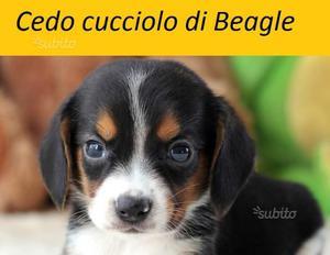 Cane cucciolo razza BEAGLE
