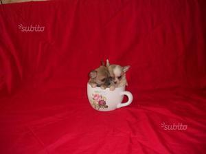 Chihuahua mini toy e toy