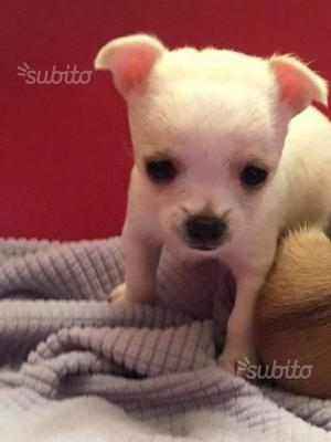 Chihuahua toy con pedigree