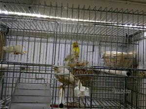 Coppie canarini maschi giallo Isabella bianco