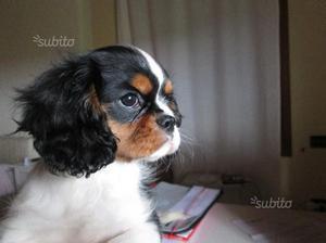 Cuccioli Cavalier King di tre mesi