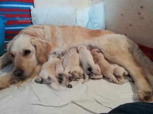Cuccioli golden retriever con pedigree