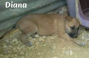 Diana cucciola 2 mesi e mezzo in adozione