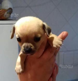 Femmina Chihuahua