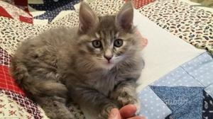 Gattina siberiana di 3 mesi