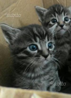Gattini incrocio norvegese delle foreste europeo