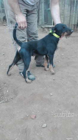 Jagd terrier maschio