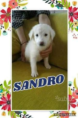Sandro cucciolo tutto bianco 2 mesi e mezzo